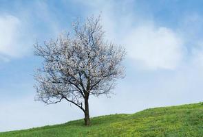 ukrainska landskap med ensamt aprikosträd foto