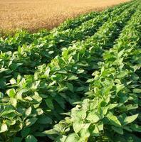 rader med sojaböngrödor i ett fält foto