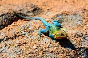 wichita bergen nationell djurliv foto