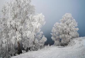 björkar på vintern foto