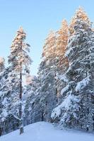 snöig skog på vintern foto