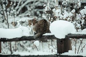 katten och vintern foto