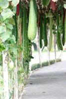 grön kinesisk vintermelon. foto