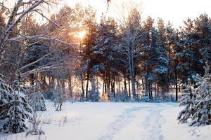 vinterskog vid soluppgång. foto