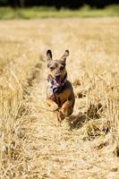 hund springer och ler foto
