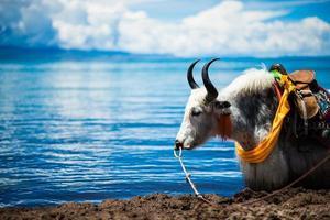 yak by nam lake foto