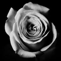 svartvit ros foto