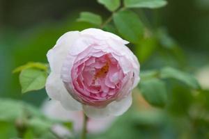 rosa engelska ros symboliskt för kärlek och medkänsla foto