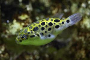 grön fläckig puffer (tetraodon nigroviridis). foto
