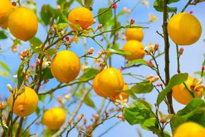 citroner som växer på citronträd foto