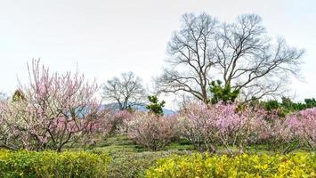 plommon blommar tidigt på våren foto