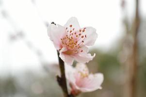 närbild av en persikablomma foto