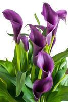 calla blommor foto