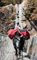 yaks och människor på hängande hängbro foto