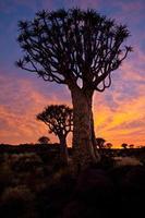 quivertree vid solnedgången foto
