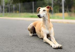 kvinnlig spansk galgo hund foto
