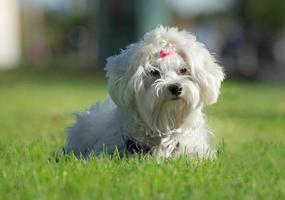 söt kvinnlig maltesisk hund med rosa rosett foto