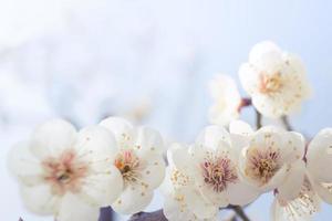 körsbärsblomning på våren med mjukt fokus, bakgrund foto