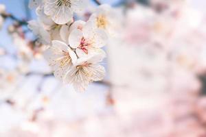 abstrakt körsbärsblomning av kärlek, mjuk fokus, bakgrund foto