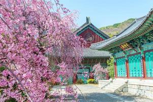 gyeongbokgung palats med körsbärsblom på våren, foto