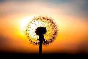 maskrosblomma med solnedgång foto