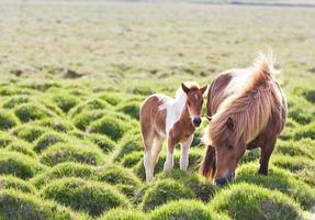 isländsk häst med sin fol. foto