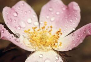 vacker rosa ros