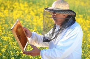 erfaren senior apiarist som arbetar i det blommande rapsfältet