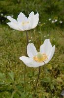 två vita blommor i trädgården foto
