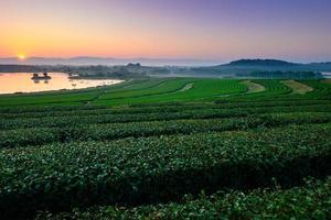 grönt te fält på vintern morgon foto