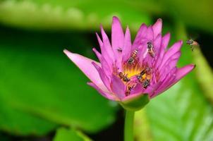 lotusblommor foto