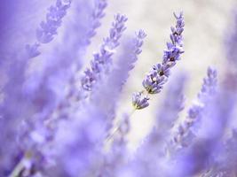 lavendelblommor foto