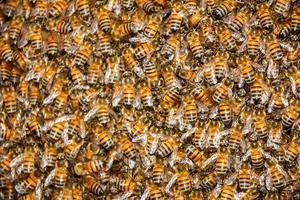 makroskott av en svärm av vanliga bin (apis mellifera) foto