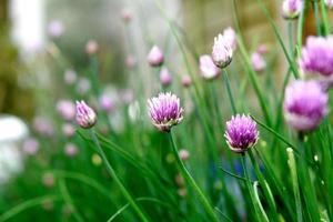 gräslök blommor foto