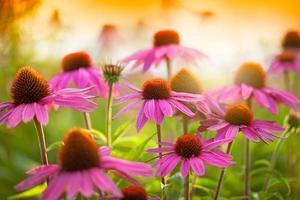 echinacea blommor foto