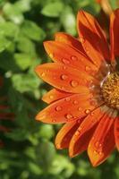 gazania blomma foto