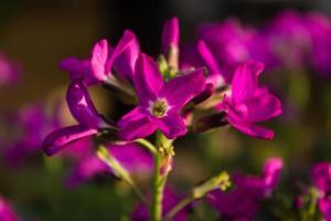rosa blomma foto