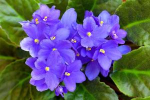 violetta blommor foto