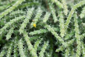kaktus närbild foto