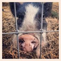 på nära gris foto
