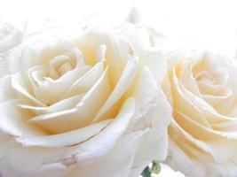 vit ros på nära håll foto
