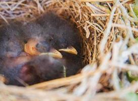 baby fågel närbild foto