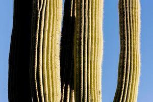 saguaro på nära håll foto