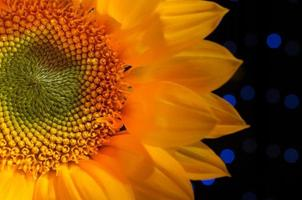 närbild solros foto