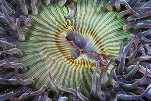 anemon närbild foto