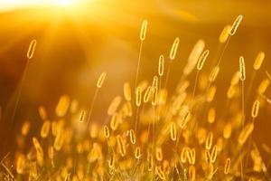 solljus med setaria, vacker bakgrund foto