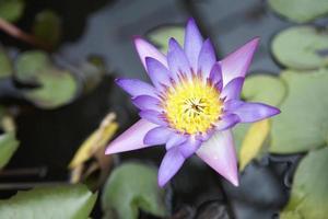 närbild lotus