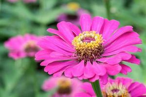 färgglad bukett med sommar zinnias foto