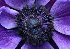 anemon på nära håll foto