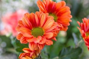 närbild orange krysantemum foto